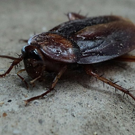 Cockroaches, Pest Control in Bethnal Green, E2. Call Now! 020 8166 9746