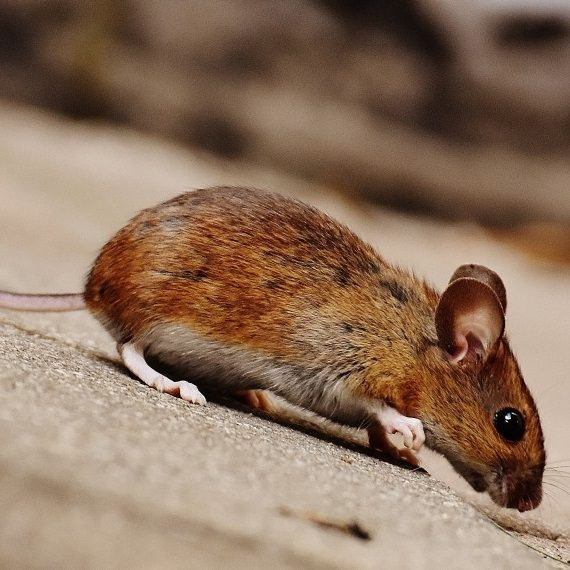 Mice, Pest Control in Bethnal Green, E2. Call Now! 020 8166 9746