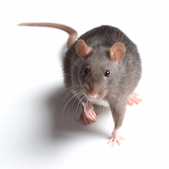 Rats, Pest Control in Bethnal Green, E2. Call Now! 020 8166 9746