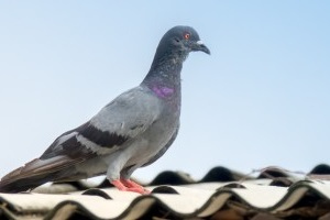 Pigeon Control, Pest Control in Bethnal Green, E2. Call Now 020 8166 9746
